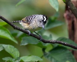 Barred Antshrike male
