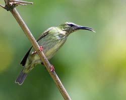 Red-legged Honeycreeper female