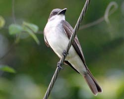 Gray Kingbird