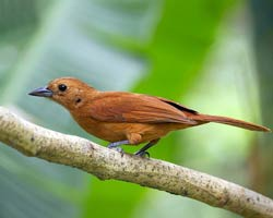 White-lined Tanager female