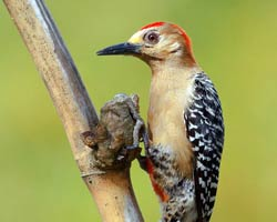 Red-crowned Woodpecker male
