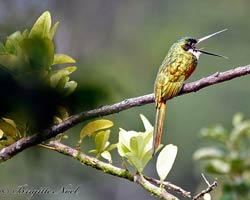 Rufous-tailed Jacamar throwing up a bug