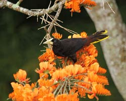 Crested Oropendola in mountain immortelle tree