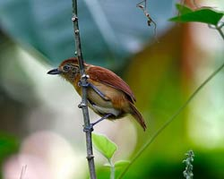 Barred Antshrike female