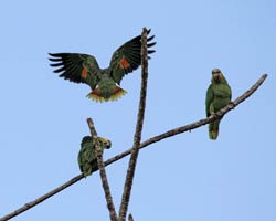 Orange-winged Parrots