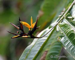 Heliconia, Bird-of-paradise